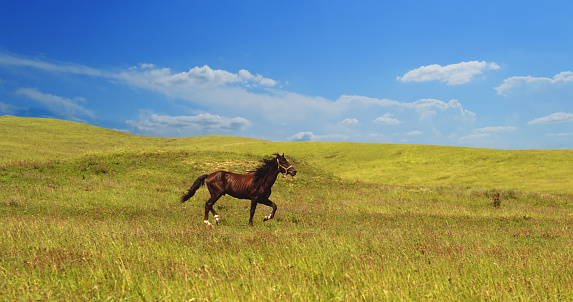 horse of cinnamon color runs freely at a gallop at the will of bright juicy hills with green grass 1029239278