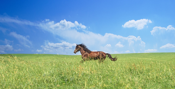horse of cinnamon color runs freely at a gallop at the will of bright juicy hills with green grass 1031112276