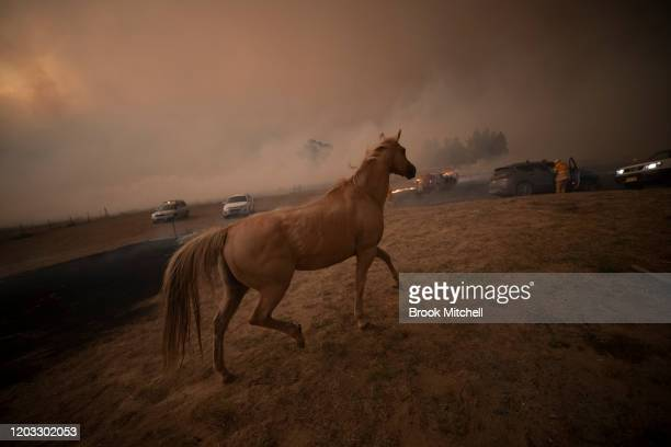 A horse on a Bumbalong Road Bredbo North as fire approaches February 01 2020 in Canberra Australia ACT Chief Minister Andrew Barr declared a State of...