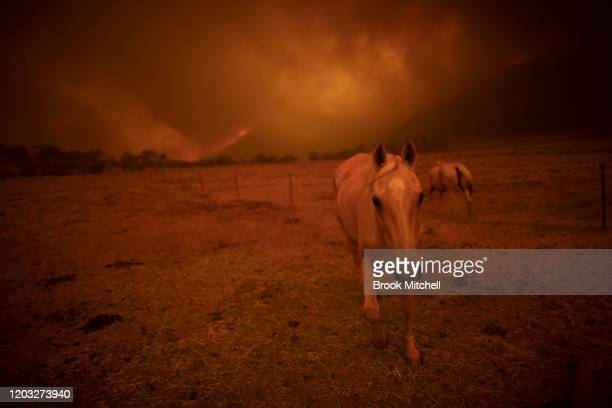 A horse on a Bumbalong Road Bredbo North Property near Canberra February 01 2020 in Canberra Australia ACT Chief Minister Andrew Barr declared a...