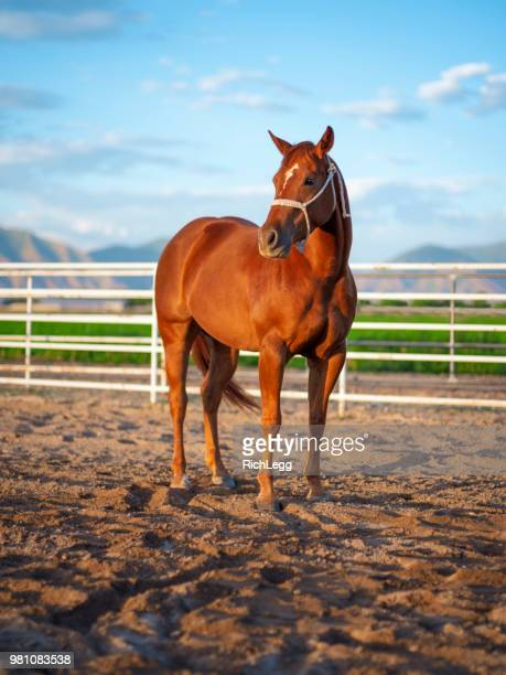 horse on a ranch - thoroughbred horse stock photos and pictures