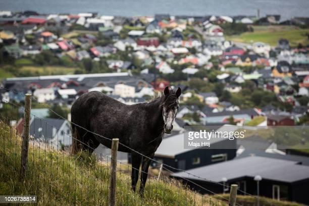 Horse on September 04, 2018 in Torshavn, The Faroe Islands.