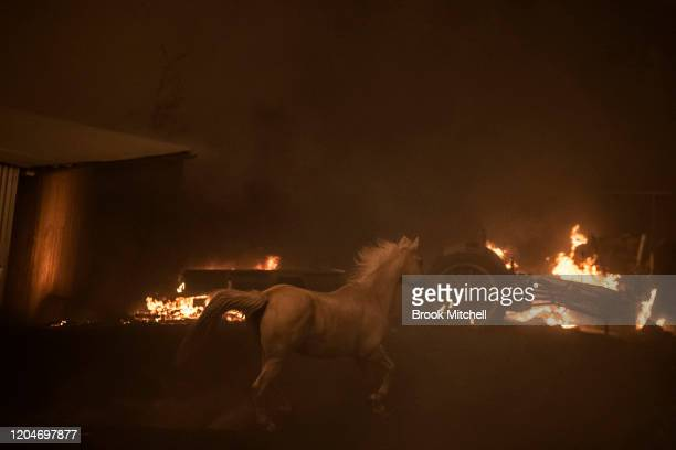 A horse panics as the Clear Range Fire burns near Bredbo Northcover running the property of Lawrence and Claire Cowie on February 01 2020 near...