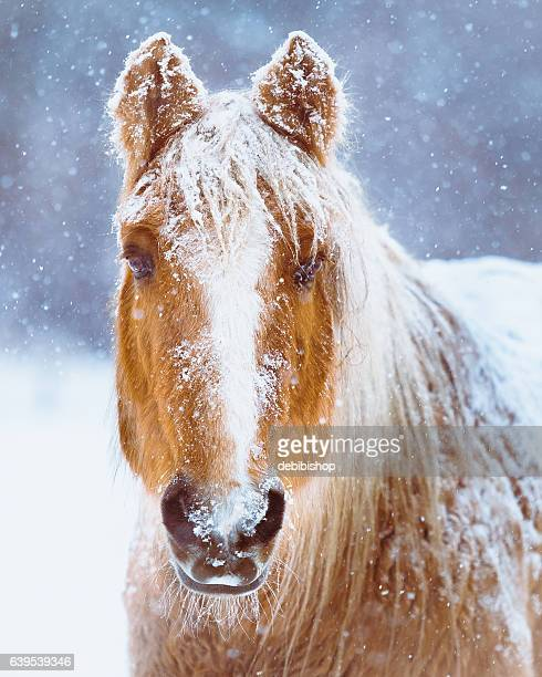 horse portrait in winter snow storm - equestrian animal photos et images de collection