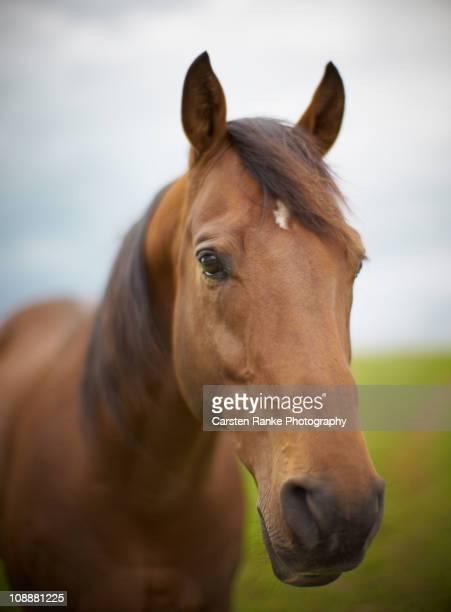 Horse Portrait, Mariazell