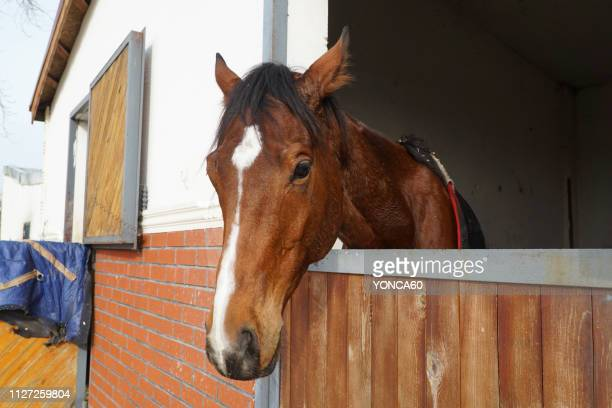 horse portrait - racehorse stock pictures, royalty-free photos & images