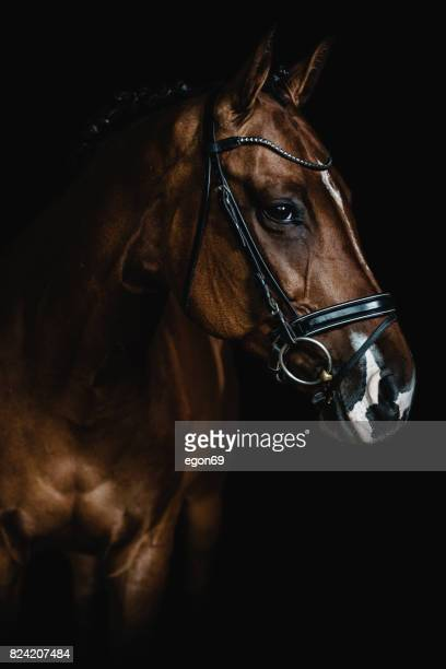 horse portrait - dressage stock pictures, royalty-free photos & images