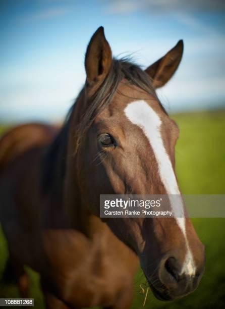 Horse Portrait, Weiler