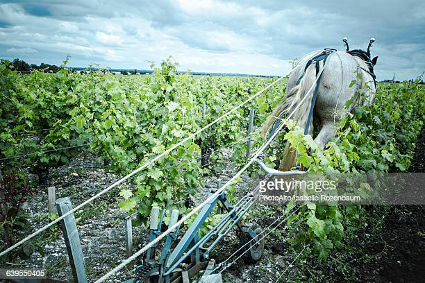 horse pulling plow in vineyard - working animal stock pictures, royalty-free photos & images