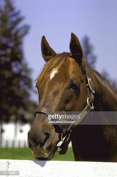 Closeup portrait of Alydar at Calumet Farm Lexington KY CREDIT Jacqueline Duvoisin