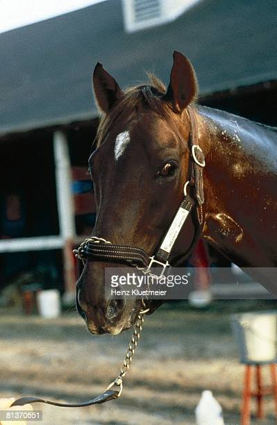 Horse Racing Florida Derby Closeup of race winner Alydar at Gulfstream Park Hallandale FL 4/1/1978