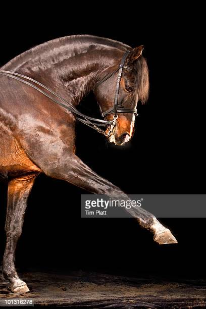 Horse raising one foreleg in profile.