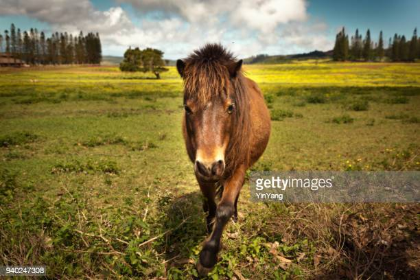 horse ranch on the island of lanai, hawaii - lanai stock photos and pictures
