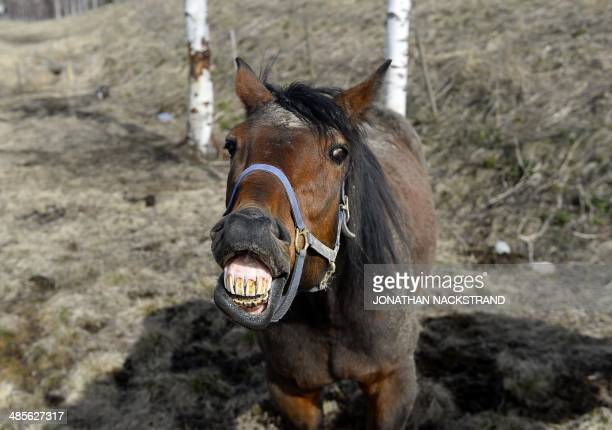 A horse reacts and shows his teeth at a farm in Aasbo near Jaervsoe in Sweden on April 19 2014 AFP PHOTO/JONATHAN NACKSTRAND