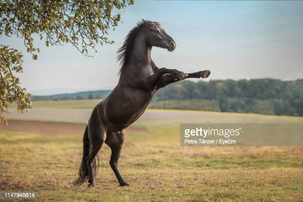 horse rearing up on field - cheval photos et images de collection