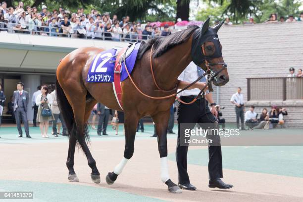 Horse Red Arion being led around the paddock during Race 11 Yasuda Kinen at Tokyo Racecourse on June 5 2016 in Tokyo Japan
