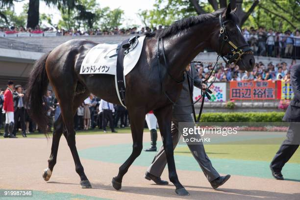 Horse Red Raven being led around the paddock during Tokyo Yushun at Tokyo Racecourse on May 26 2013 in Tokyo Japan Tokyo Yushun Japanese Derby is the...