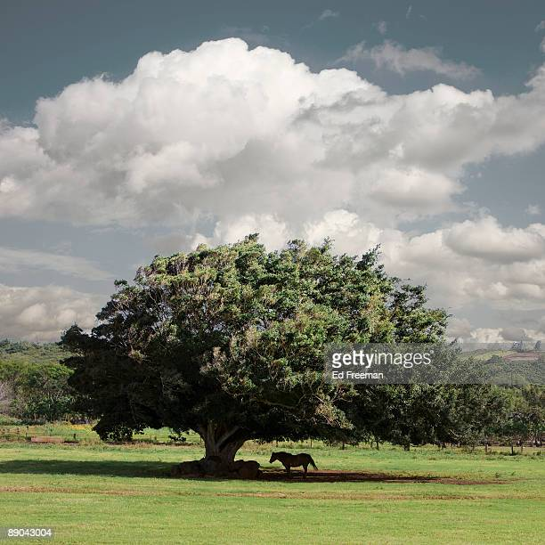 horse resting under tree - shade stock pictures, royalty-free photos & images
