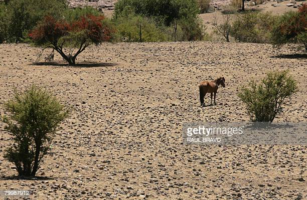 A horse roams in Til Til an agricultural municipality 50 km north of Santiago in the province of Chacabuco on February 22 2008 Animals in central and...