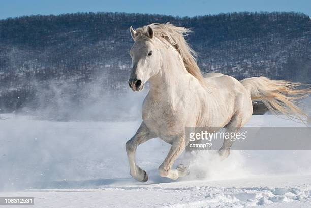 Horse Running in Snow, Power and Motion, White Stallion Freedom