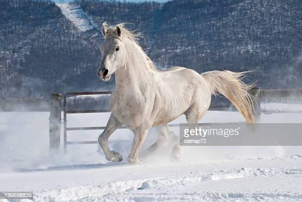 Pferd läuft im Schnee, weiße Arabische Hengst in Bewegung mehr