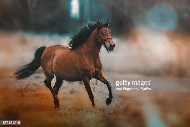 horse running on field - horses running stock pictures, royalty-free photos & images
