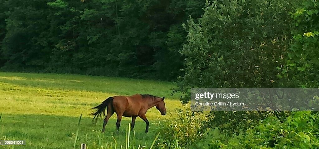 Horse Running On Grassy Field : Stock Photo