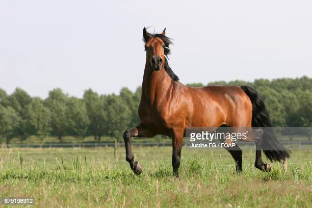 horse running on grassy field - bay horse stock photos and pictures