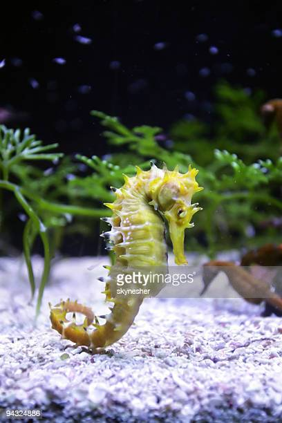 horse sea - sea horse stock photos and pictures
