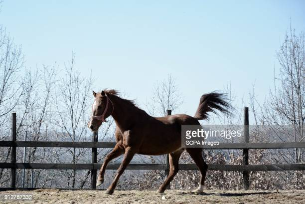 NEOCHORION CHALKIDIKI GREECE A horse seen running the track of the farm at the region of Chalkidiki