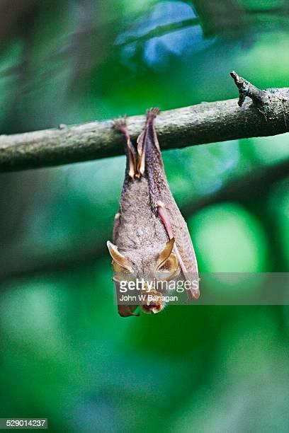Horse shoe bat, Sepilok, Sabah, Borneo