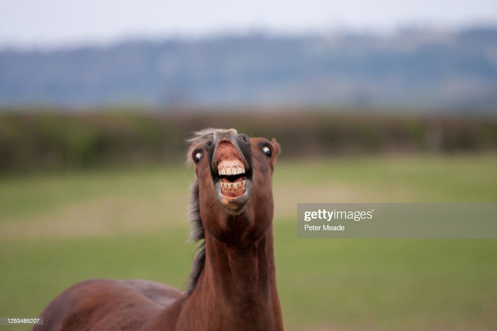Horse showing a Flehmen response : Stock Photo