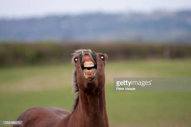 horse showing a flehmen response - funny animals stock pictures, royalty-free photos & images
