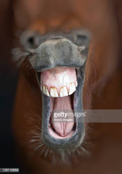 horse showing his teeth and laughing - horse teeth stock photos and pictures