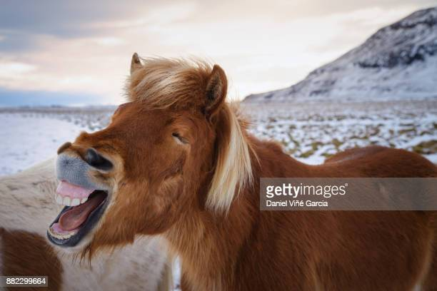 horse showing his teeth and laughing - equestrian animal photos et images de collection