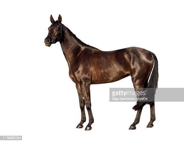 horse standing against white background - cheval photos et images de collection