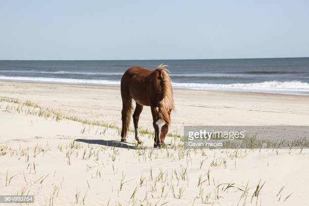 horse standing at beach against clear sky during sunny day - outer banks stock pictures, royalty-free photos & images