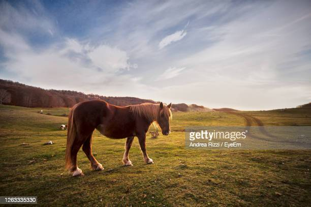 horse standing in a field abruzzo - andrea rizzi photos et images de collection