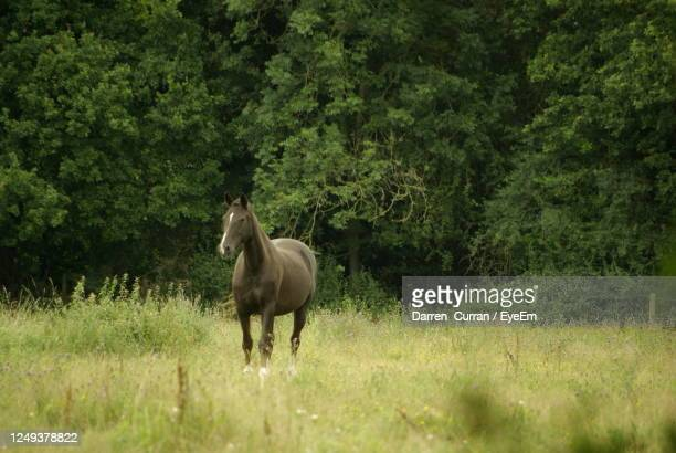horse standing in a field - curran stock pictures, royalty-free photos & images