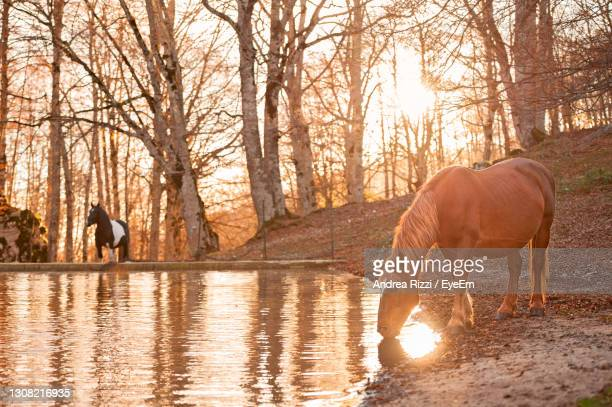 horse standing in a forest during golden houre - andrea rizzi foto e immagini stock