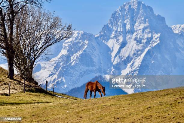 horse standing in grass in front of snow covered mountain against sky - gerhard hagn stock-fotos und bilder