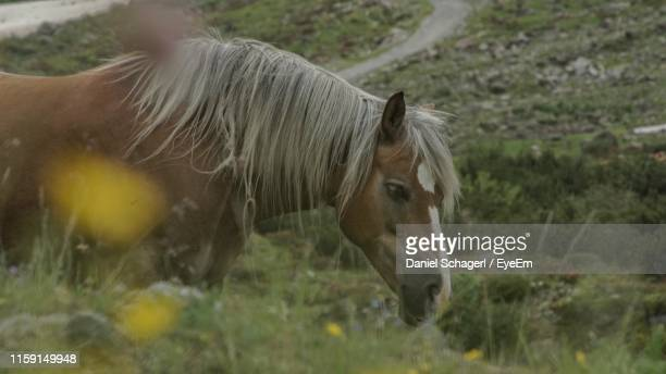 horse standing on field - herbivorous stock photos and pictures