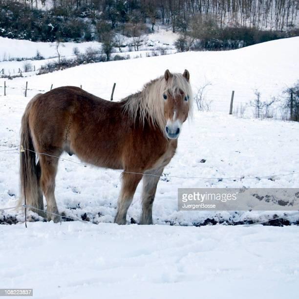 Cheval debout à l'extérieur dans la neige en hiver