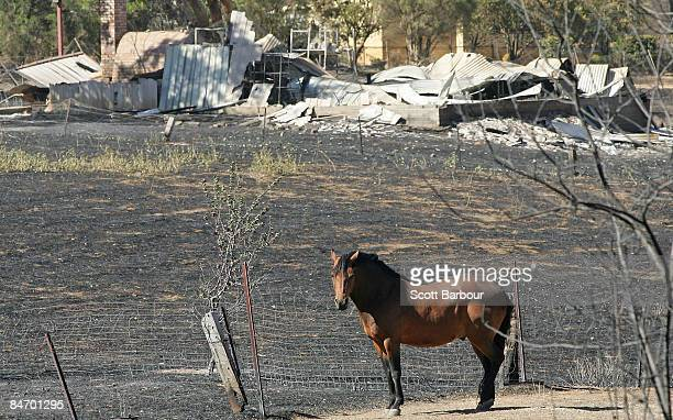 A horse stands in its burnt out paddocks in front of a burnt property on February 9 2009 in Bendigo 160 km north of Melbourne Australia Eight...