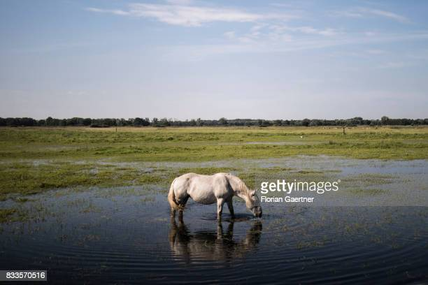 A horse stands on a flooded pasture on August 15 2017 in Hoyersburg Germany
