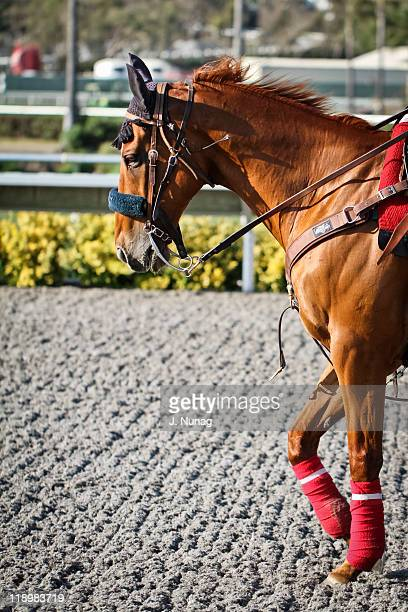 horse stepping on race track with pink socks - derby day stock photos and pictures