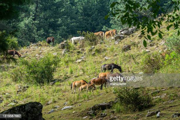 horse taking a quick break at naranaq valley of kashmir, india. - shaifulzamri stock pictures, royalty-free photos & images