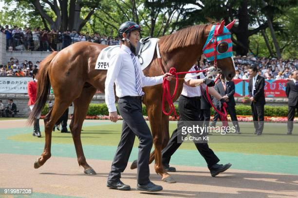 Horse Tamamo Best Play being led around the paddock during Tokyo Yushun at Tokyo Racecourse on May 26 2013 in Tokyo Japan Tokyo Yushun Japanese Derby...