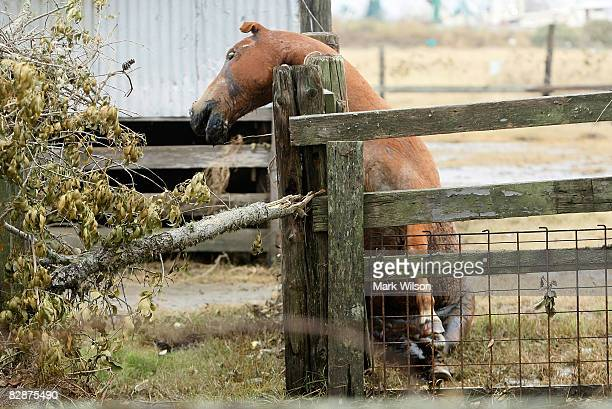 A horse that was left in its pin leans against a fence dead after not succeeding in trying to get to higher ground when the surge of Hurricane Ike...