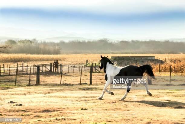 trote de caballo en agricultura y ganadería, córdoba, argentina. - cordoba argentina fotografías e imágenes de stock